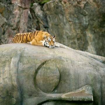 tiger on buddha