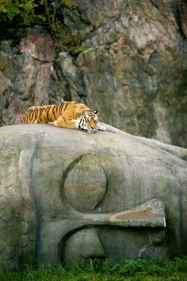 tiger on buddha